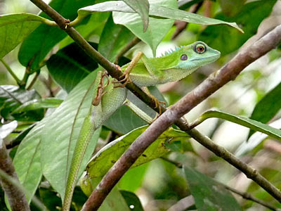 Green-crested lizard (Bronchocela cristatella)