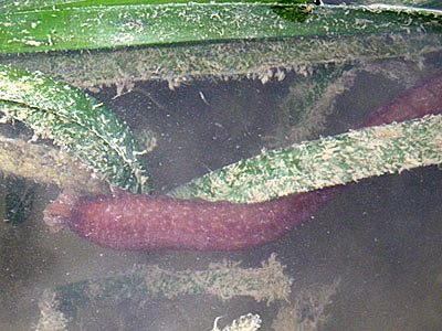 Synaptid sea cucumber