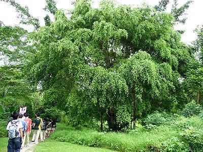 benjamin's fig (Ficus benjamina)
