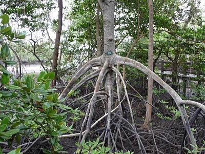 Bakau trees (Rhizophora spp.)