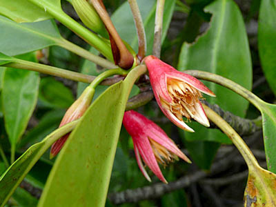 Tumu tree (Bruguiera gymnorhiza)
