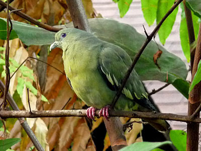 Female pink-necked green pigeon (Treron vernans)