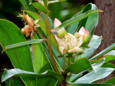 Cicada tree, Ploiarium alternifolium