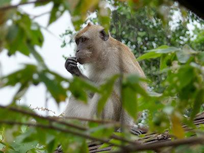 Long-tailed macaques (Macaca fascicularis)