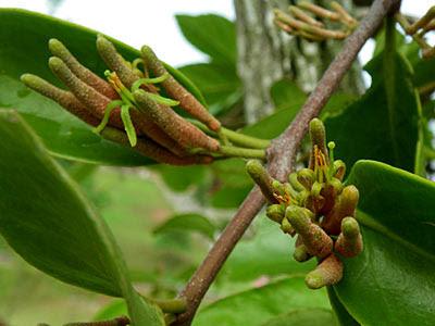 Mistletoe (Dendrophthoe pentandra)