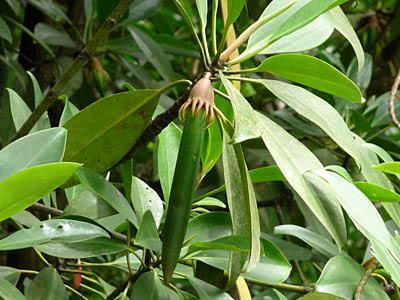 Tumu (Bruguiera gymnorhiza)