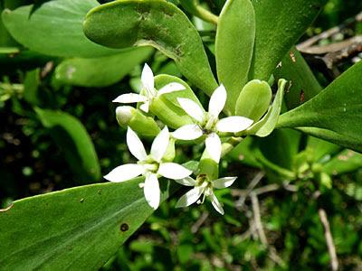 Teruntum Bunga Puteh (Lumnitzera racemosa)