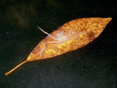 Leaf Porter Crab (probably Neodorippe callida)