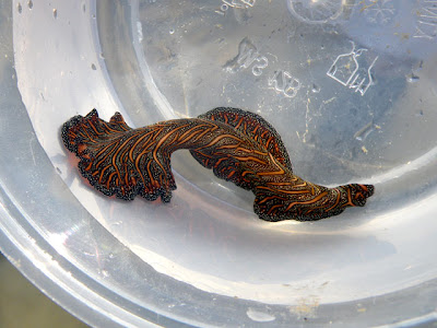 Persian Carpet Flatworm (Pseudobiceros bedfordi)