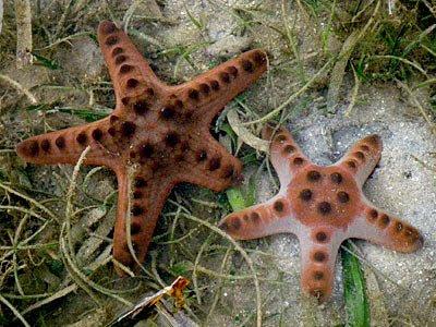 Knobbly Sea Stars (Protorester nodosus)