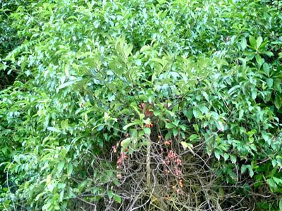 Tongkat Ali (Eurycoma longifolia) id=