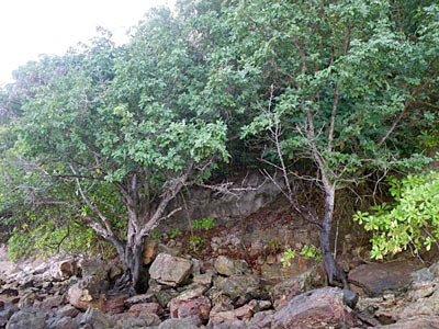 Xylopcarpus rumphii