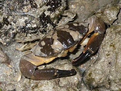 Spooner Crab (probably Leptodius sp.)