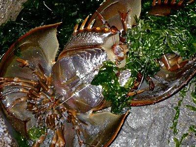 Coastal horseshoe crabs (Tachypleus gigas)
