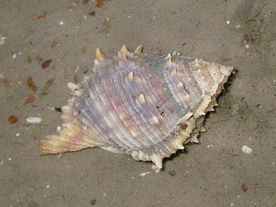 Frog shell (Bufonaria rana)