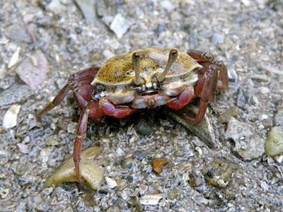 Fiddler Crab (Uca vocans)