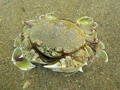 Spotted Moon Crab (Matuta lunaris)