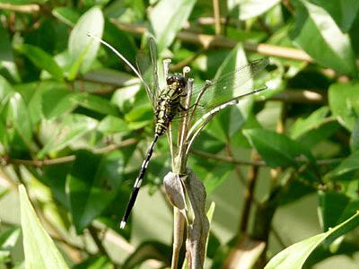 Slender Skimmer (Orthetrum sabina)