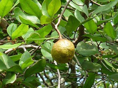 Mangrove Cannonball (Xylocarpus granatum)