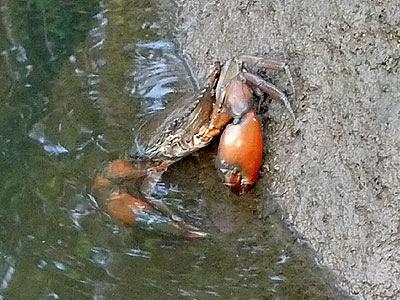 Orange Mud Crab (Scylla olivacea)