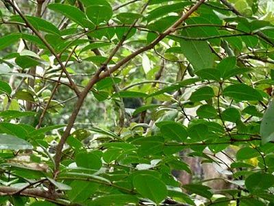 Mangrove Cannonball (Xylocarpus moluccensis)