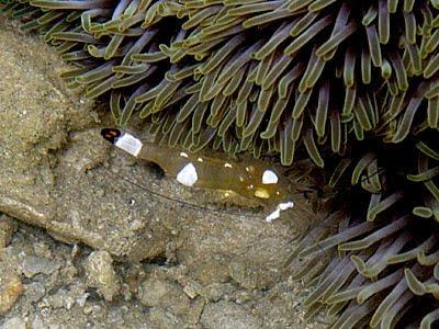 Anemone Shrimp (Periclimenes brevicarpalis)