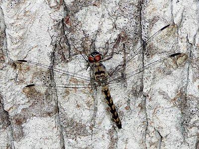 Tyriobapta torrida dragonfly