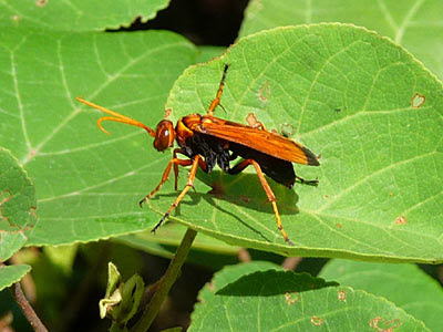 Spider Wasp (Family Pompilidae)