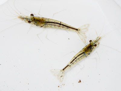 Caridina Shrimps