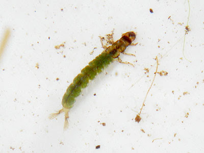 Caseless Caddisfly (Order Trichoptera) larvae