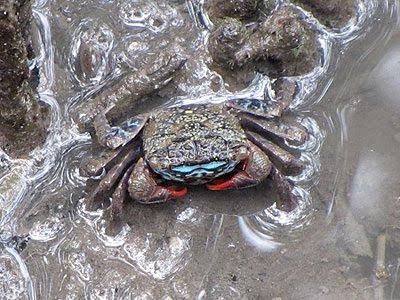 Face-banded Sesarmine Crab (Perisesarma eumolpe)
