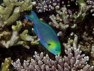 Greensnout Parrotfish (Scarus spinus)