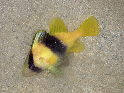 Yellow Soapfish (Diploprion bifasciatum)