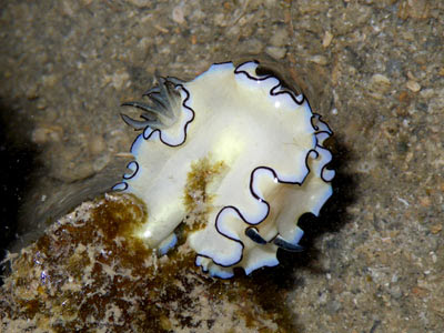 Black Margined Glossodoris Nudibranch (Glossodoris atromarginata)