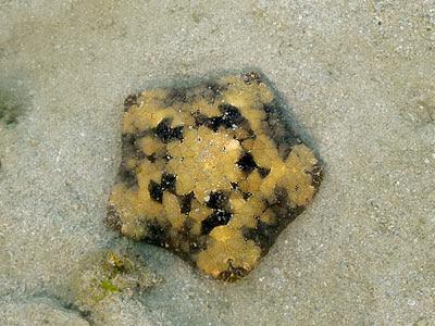 Juvenile Cushion Star (Culcita novaeguineae)
