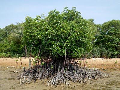 Bakau (Rhizophora stylosa)