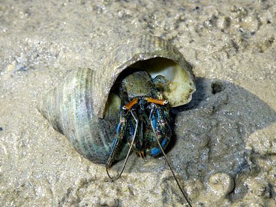 Blue-striped Hermit Crab (Clibanarius longitarsus)