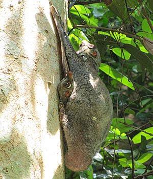 Malayan Colugo (Cynocephalus variegatus) with Baby