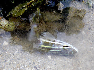 Cardinalfish and Hairy Crab (Pilumnus vespertilio)