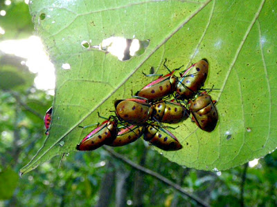 Shield Bugs (Calliphara nobilis)