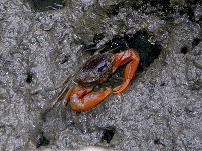 Orange Signaller Crab (Metaplax elegans)