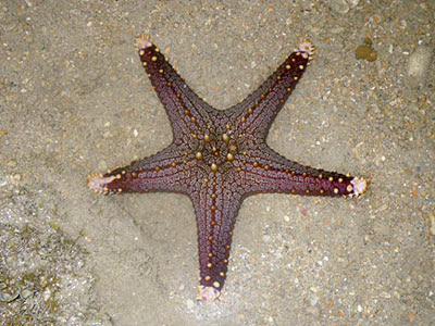 Sea Star (Pentaceraster mammilatus)