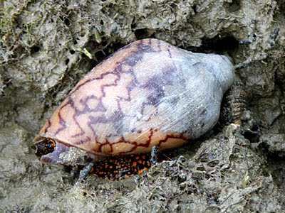 Noble Volute (Cymbiola nobilis)