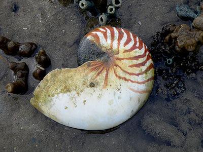 Nautilus shell (Nautilus sp.)