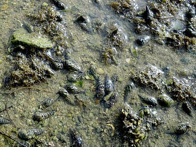 Creeper Snails (Batillaria zonalis)