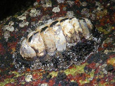 Chiton (Acanthopleura gemmata)