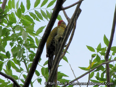 Laced Woodpecker (Picus vittatus)
