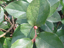 invasive: salal