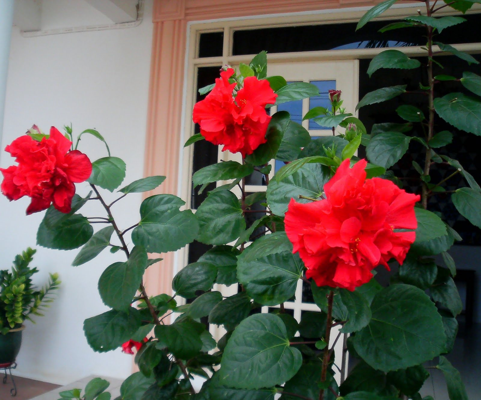 Laman kambatik plants list 3rd ed hibiscus hybrid double red hibiscus hybrid double red izmirmasajfo Image collections