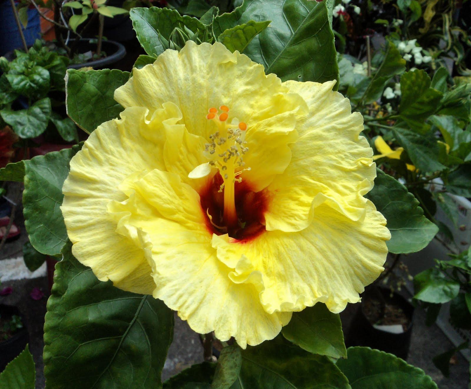 yellow hibiscus plant - photo #1